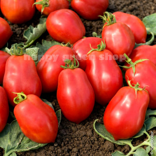 TOMATO BEST TOMATO SEEDS ROMA VF 450 SEEDS VEGETABLE