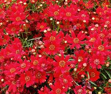 COREOPSIS PLAINS RED DWARF Coreopsis Tinctoria - 5,000 Bulk Seeds