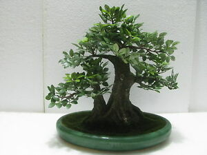 ... BONSAI Artificiale Ficus Benjamin Vaso Ovale In Ceramica