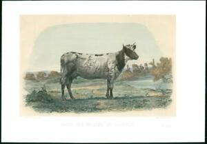 1864-Large-Antique-Lithograph-CATTLE-BULL-Cow-VACHE-DES-POLDES-DU-HOLSTEIN-35
