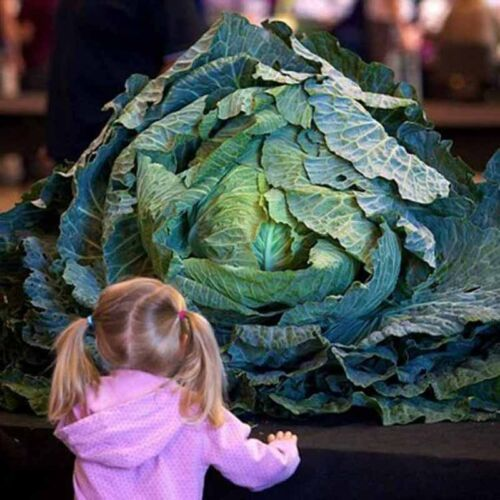 200 Pcs Rare Giant Cabbage Green Nutrious Vegetables Seeds Home Garden Plants