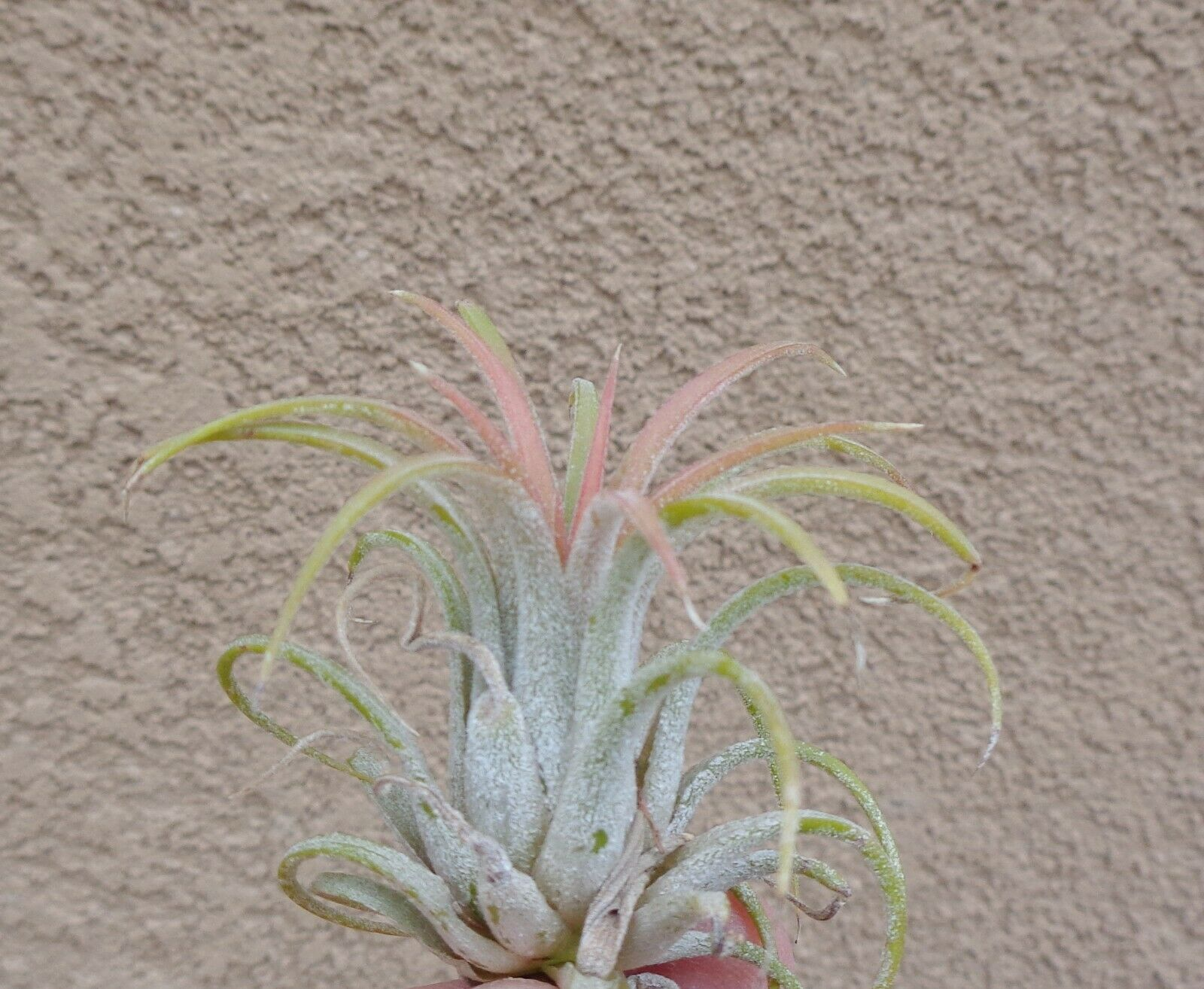10 Pack Tillandsia Ionantha Rubra 1 2 As Is Air Plants For Sale
