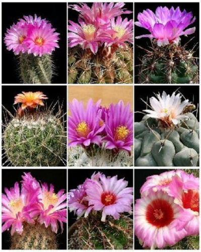THELOCACTUS VARIETY MIX exotic mixed cacti rare flowering cactus seed 15 SEEDS