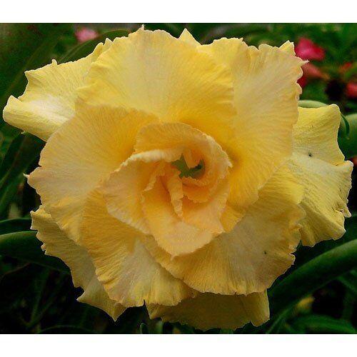 K35 SEEDS 4 graines de ROSE DU DESERT TRIPLE JAUNE Adenium Obesum HAPPY GOLD
