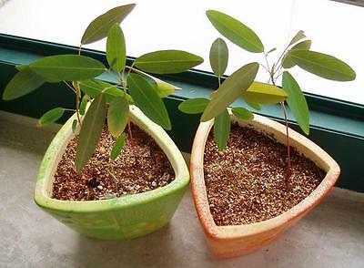 Dancing tree and sensitive plant!ultimate collection worlds best plants! RARE