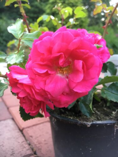 30x Bodendecker winterhart Bodendeckerrose Noatraum öfterblühend robust pink