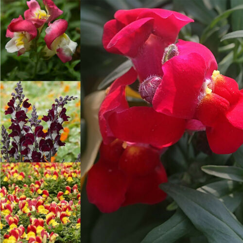500//800PCS Mix Snapdragon Plant Seeds Antirrhinum Majus Maximum Garden Flower