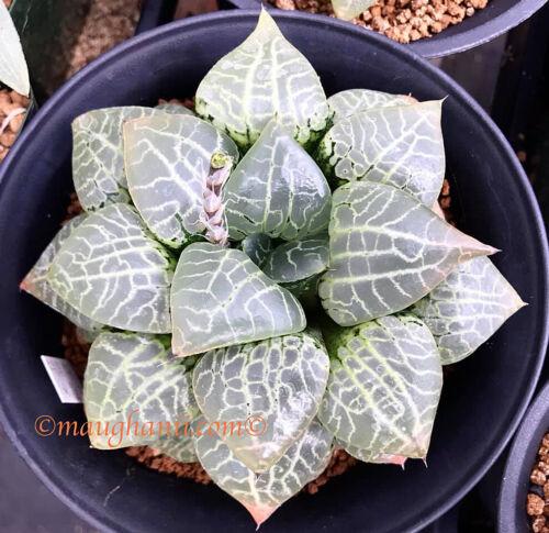 Haworthia /'Nishi Suisyou/' No 94 10 fresh seeds 2019 Succulent