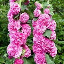 50 Seeds Hollyhock Chater Bright Pink Holly Hock Seeds ( Perennial )
