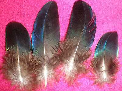 lot 4 plumes faisan doré bleues metallisé 7 cm