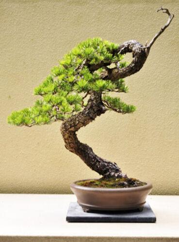 Pin lodgepole Pinus contorta Conifère Arbre de Noël et Bonsai x 50 graines.