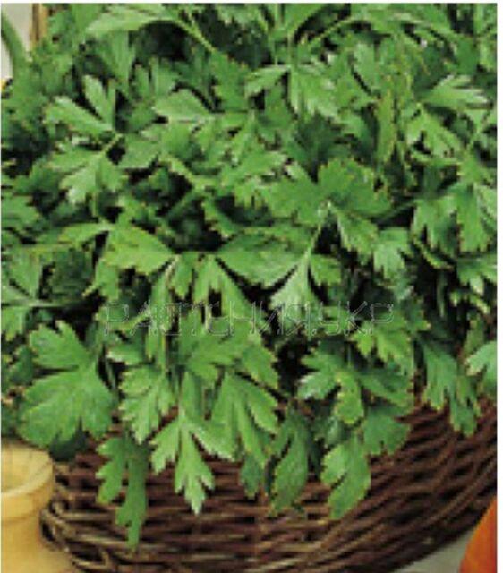 Celery Leaf Zefir - Heirloom -  Vegetable Seeds - NON GMO