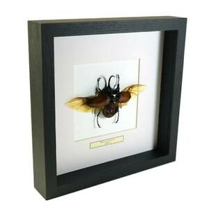 Real-taxidermy-insect-mounted-in-black-wooden-frame-Eupatorus-Gracilicornis