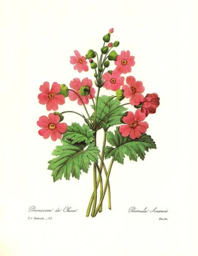 1991 Vintage REDOUTE FLOWER #113 RED CHINESE PRIMROSE Color Art Print Lithograph