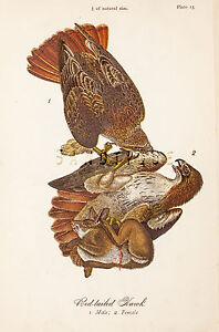 Warren-039-s-034-Birds-of-Pennsylvania-034-034-RED-TAILED-HAWK-034-Chromo-1888