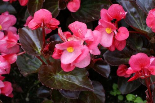 Begonia Semperflorens G475 FIBROUS BEGONIA SEEDS 20 graines BEGONIA FIBREUX MIX