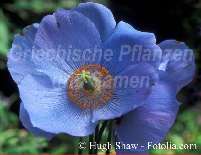 Tibet Mohn blau * blauer Mohn * 50 Samen * SEHR SELTEN * sensationell * Geschenk