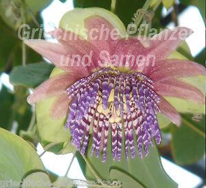 Passiflore quadrangularis 6 graines frais rose violette grande fleurs ebay - Image fleur violette gratuite ...