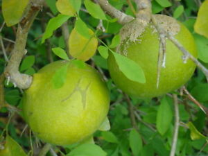 Stone Apple 20 Aegle Marmelos Seeds Bael Seeds Golden Apple Bengal Quince