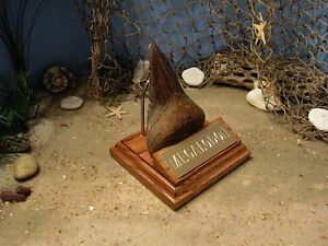 megalodon shark tooth 4 fossil display stand engraved plaque tooth