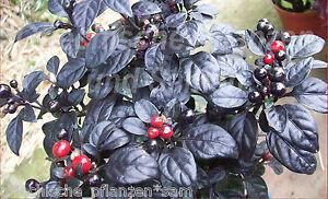 Chili-BLACK-PEARL-schwarz-10-Samen-fuer-Balkon-und-Zimmer-Paprika-Geschenk