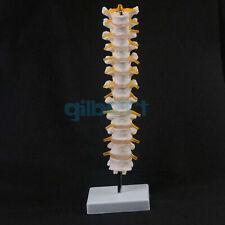 Lifesize Human 12 Thoracic Vertebrae Skeleton Cervical Spine Anatomical Model