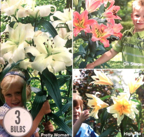 3 GIANT LILIES TREE HYBRID FRAGRANT COLLECTION TUBERS PERENNIAL SUMMER FLOWER