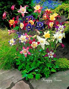 COLUMBINE-McKana-mixed-650-Seeds-Aquilegia-coerulea-Perennial-Flower