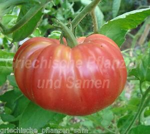 CRNKOVIC-YUGOSLAVIEN-Fleisch-Tomate-Tomaten-10-Samen