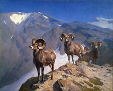 "Carl Rungius, BIG HORN SHEEP, Rams, Wildlife, antique wall decor, 20""x16"" ART"
