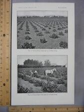 Rare Antique Original VTG California Vineyard Comparison Photogravure Art Print