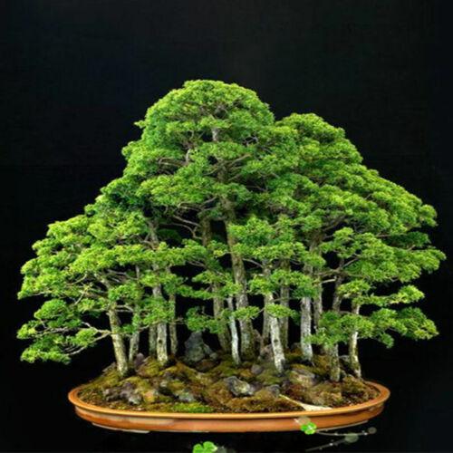 20pcs Japanese White Pine Pinus Parviflora Green Plants Tree Bonsai Seeds  V1A3