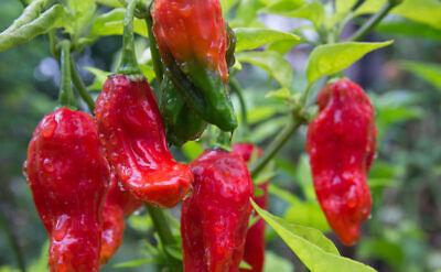 Competent Bedfordshire Super Naga 100 Seeds World Record Hot Pepper Seed Garden Vegetable Non-Strijkservice