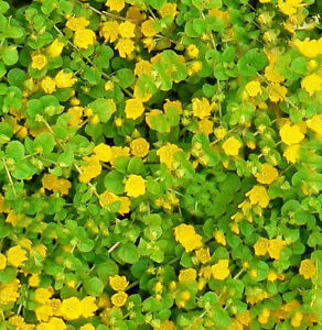 Creeping jenny groundcover 10 starter pc little yellow flowers ebay image is loading creeping jenny groundcover 10 starter pc little yellow mightylinksfo