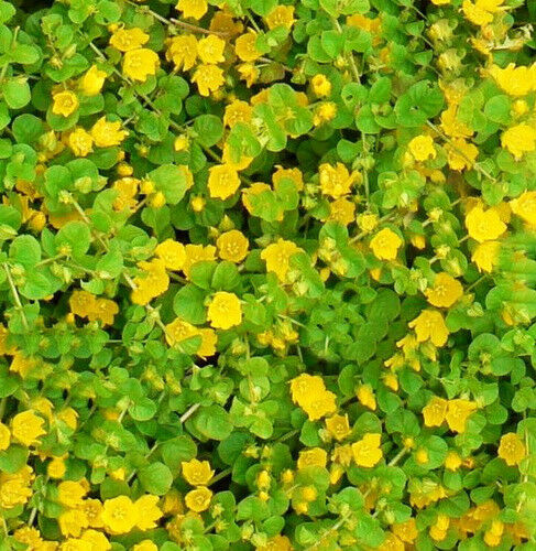 Creeping Jenny Groundcover 25 Starter Pc Pretty Little Yellow