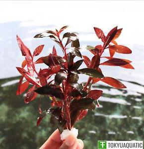 Ludwigia-Repens-Red-Fresh-Live-Aquarium-Tropical-Aquatic-Plants-Decorations-Tank