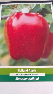 YELLOW DELICIOUS APPLE 4-6 FT Fruit Tree Plants Trees PLANT Sweet Apples !!