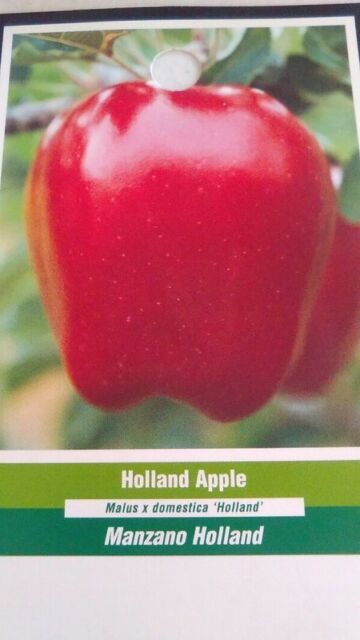 4'-5' live Holland Apple Fruit Tree Plant Live Trees Fresh Apples Home Garden