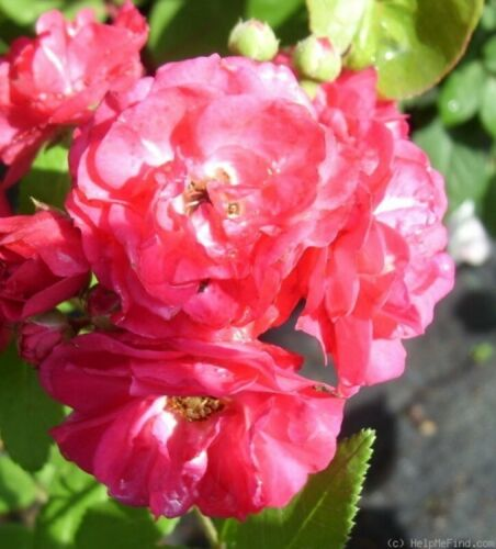 strauchrose Moschata-Rose dinky ® velheav ® Velle-boudolf