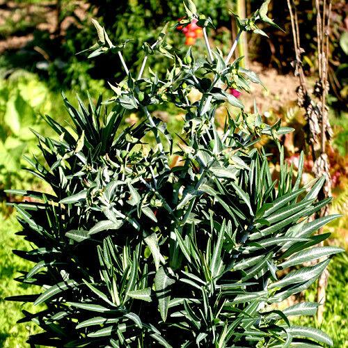 Euphorbia Lathryus Wolfsmilch Staude 10 Samen