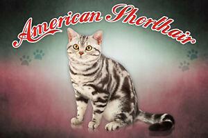 American-Shorthair-Chat-Panneau-Metallique-Plaque-Voute-Etain-Signer-20-X-30-CM