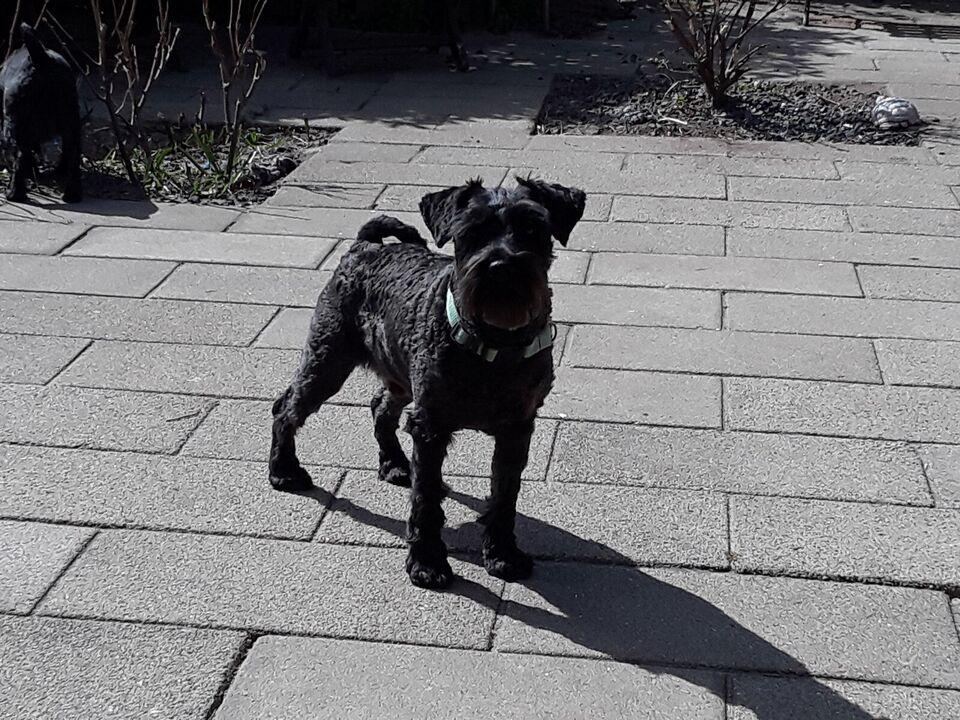 Dværgschnauzer, hanhund, 2 år