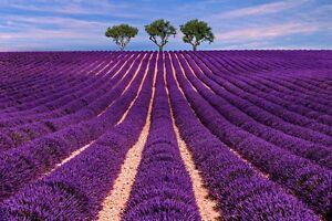 Das-Duftoel-vom-Duft-Lavendel-wirkt-sehr-beruhigend-und-bringt-Entspannung