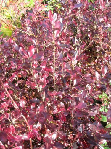 XL Evergreen PITTOSPORUM Black Shrub Tree TOM THUMB Potted Hardy Patio Garden