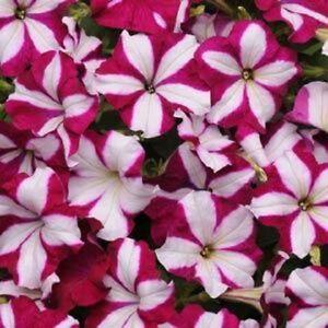 25-Pelleted-Seeds-Easy-Wave-Burgundy-Star-Petunia-Seeds-Trailing-Petunia