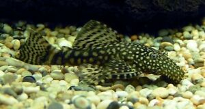 3-Brown-Bushynose-Plecos-Live-Freshwater-Aquarium-Fish