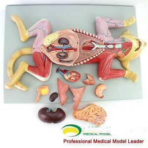 Details about Feline cat anatomy model organ visceral muscle nerve heart vet study animal