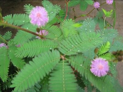Rainbow Bashful Grass Seeds Plants Mimosa Pudica Linn Foliage Sensitive 100pcs