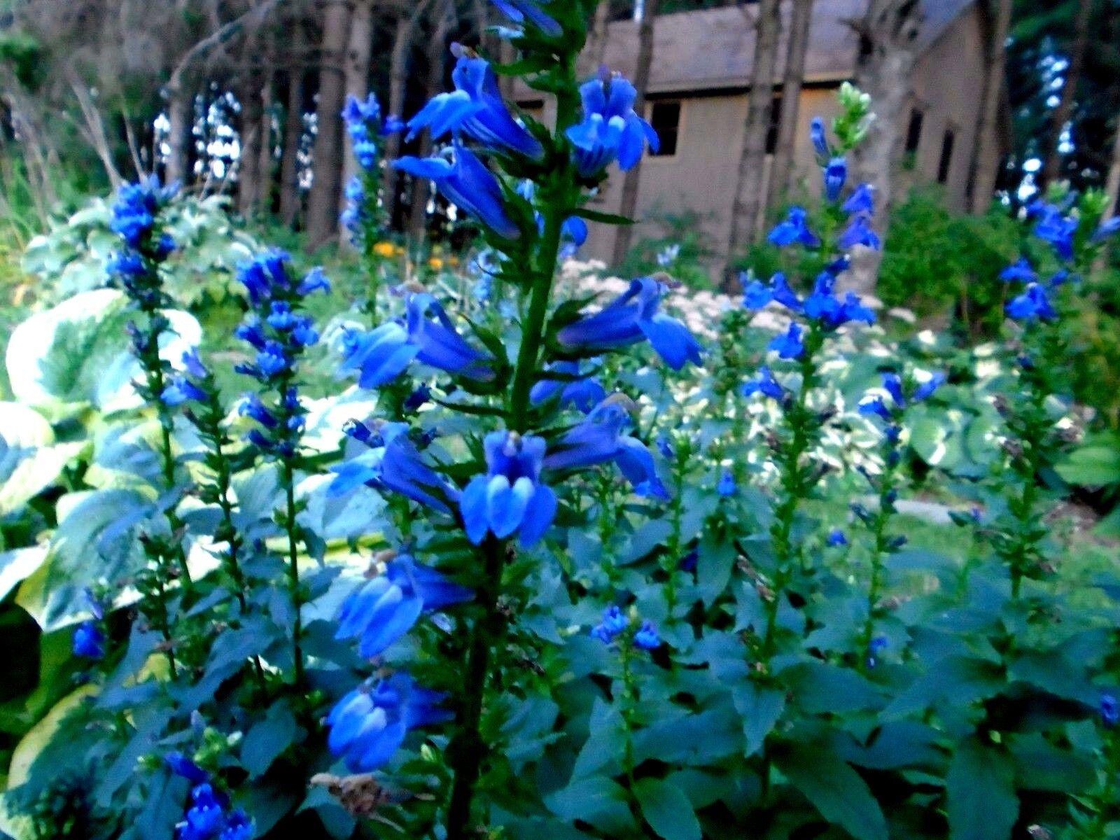 Tall great blue lobelia cardinalis siphilitica perennial rare 300 resntentobalflowflowcomponentncel izmirmasajfo