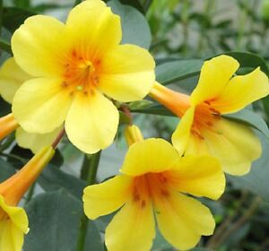 Dixie vireya rhododendron tropical yellow flowers plant in 140mm pot image is loading dixie vireya rhododendron tropical yellow flowers plant in mightylinksfo